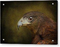 Harris Hawk Profile Acrylic Print
