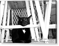 Harry One Twisted Cat Acrylic Print by Stephani JeauxDeVine