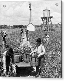 Harvesting Indian River Pineapples - C 1906 - Florida Acrylic Print by International  Images