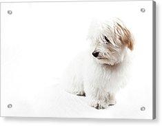 Havanese Puppy Acrylic Print by Daniel Pupius