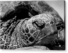 Hawaiian Basking Turtle Acrylic Print by Elizabeth  Doran