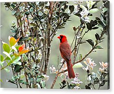 Hawaiian Cardinal  Acrylic Print