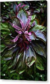 Hawaiian Good Luck Plant Acrylic Print