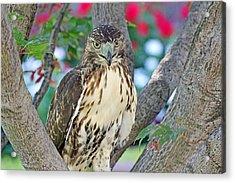 Hawk In Tree 2 Acrylic Print