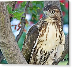 Hawk In Tree 3 Acrylic Print by Becky Lodes