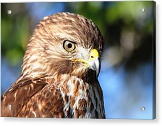 Acrylic Print featuring the photograph Hawk In Viera Florida by Jeanne Andrews