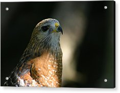 Hawk Acrylic Print by Jeanne Andrews