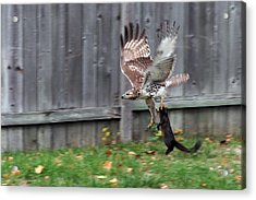 Hawk The Hunter Acrylic Print
