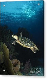 Hawksbill Sea Turtle Swimming Acrylic Print by Todd Winner
