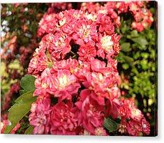 Hawthorn Flowers Acrylic Print