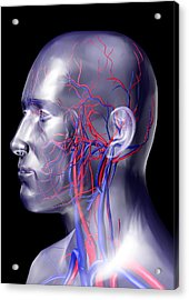 Head Blood Vessels Acrylic Print by Pasieka
