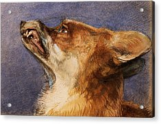 Head Of A Fox Acrylic Print by John Frederick Lewis