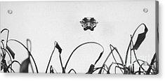 Head-on Gator Acrylic Print by Jim Wright