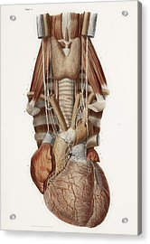Heart And Neck, Historical Illustration Acrylic Print by