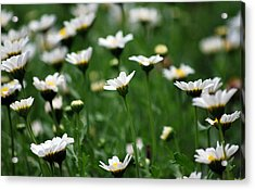 Acrylic Print featuring the photograph Heavenly Daisies by Amee Cave