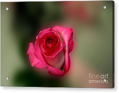 Acrylic Print featuring the photograph Heavenly Rose by Michael Waters