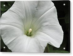 Acrylic Print featuring the photograph Hedge Morning Glory by Tikvah's Hope