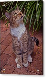 Hemingway House 6 Toed Cat 01 Acrylic Print by George Bostian