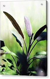 Herb Garden Purple Sage Acrylic Print