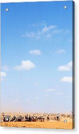 Herd Of Zebras In Dusty Scrubland Acrylic Print by Axiom Photographic