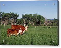 Hereford Cow And Calf Acrylic Print
