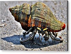 Hermit Crab Acrylic Print by John Collins