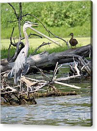 Acrylic Print featuring the photograph Heron And Mallard by Debbie Hart