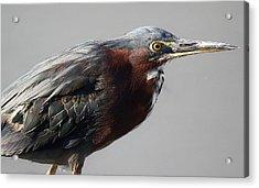 Heron Close Up Acrylic Print by Paulette Thomas