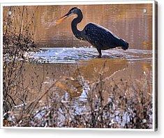 Heron Head Shake - C3136u Acrylic Print by Paul Lyndon Phillips