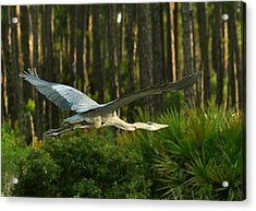 Acrylic Print featuring the photograph Heron In Flight by Rick Frost