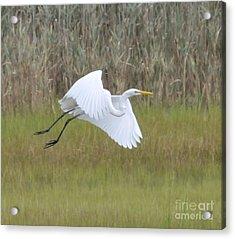 Heron Over Connecticut Marsh Acrylic Print