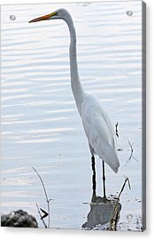 Heron Reflection Acrylic Print by Becky Lodes