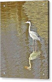 Heron Acrylic Print by Sharon Lisa Clarke