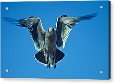 Herring Gull In Hummingbird Mode Acrylic Print