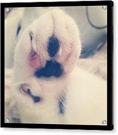 Hi-paw #nature #picoftheday #cat #cats Acrylic Print
