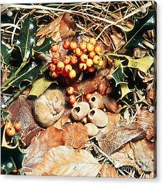 Hibernating Dormouse Acrylic Print by Jane Burton