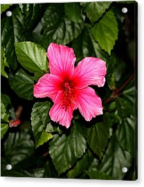 Acrylic Print featuring the photograph Hibiscus   by Elizabeth  Doran