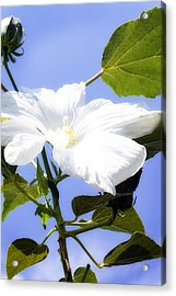 Hibiscus -1 Acrylic Print by Alan Hausenflock