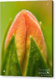 Hibiscus Bud Acrylic Print