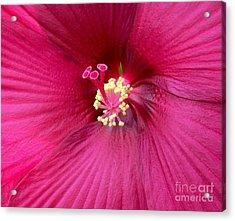 Hibiscus Close Up Acrylic Print by Marsha Heiken