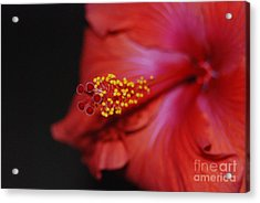 Acrylic Print featuring the photograph Hibiscus Extreme by Mark McReynolds