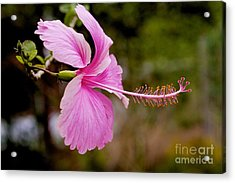Acrylic Print featuring the pyrography hibiscus flower of Borneo.  by Gary Bridger