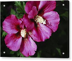 Acrylic Print featuring the photograph Hibiscus Flowers by Janice Adomeit