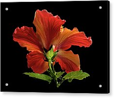Acrylic Print featuring the photograph Hibiscus by Geraldine Alexander