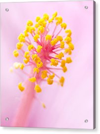 Acrylic Print featuring the photograph Hibiscus In Pink And Yellow by Anne Rodkin