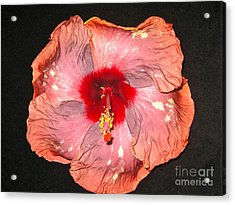 Hibiscus Acrylic Print by Joan McArthur