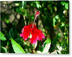 Acrylic Print featuring the photograph Hibiscus by Pravine Chester