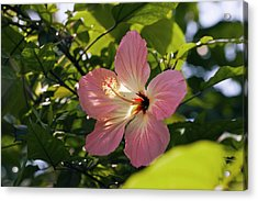 Hibiscus Rosa-sinensis Acrylic Print by Dr Keith Wheeler