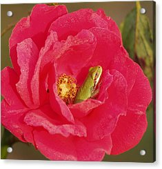 Hid In A Rose Acrylic Print by Ronald Olivier