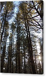 High Pine Forest Acrylic Print by Jesse Phillips